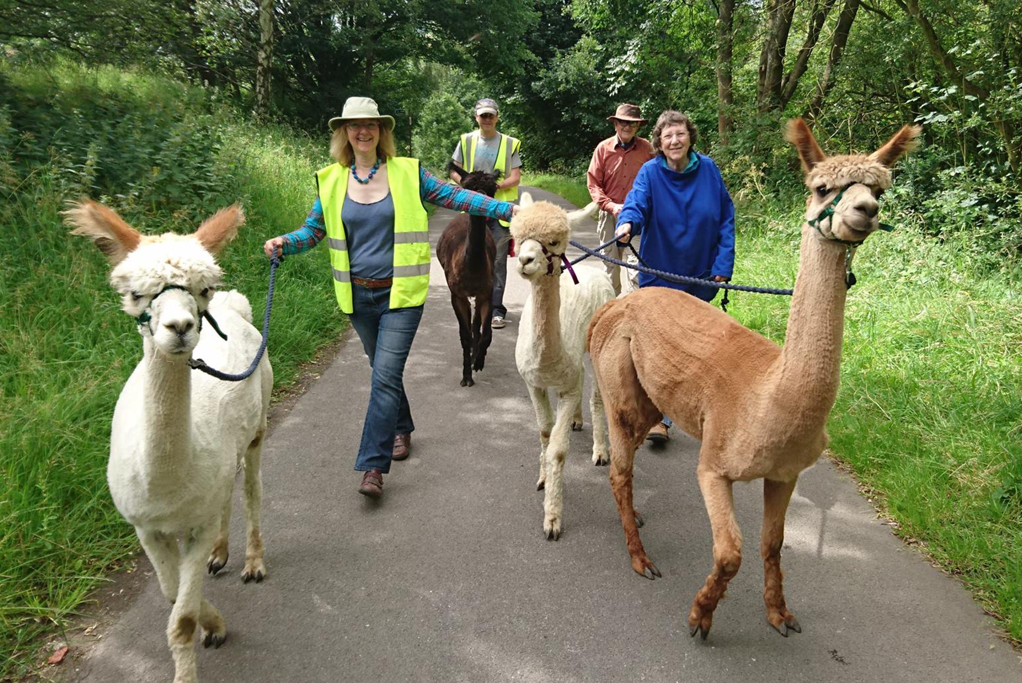 Alpaca trekking with the Holly Hagg alpacas